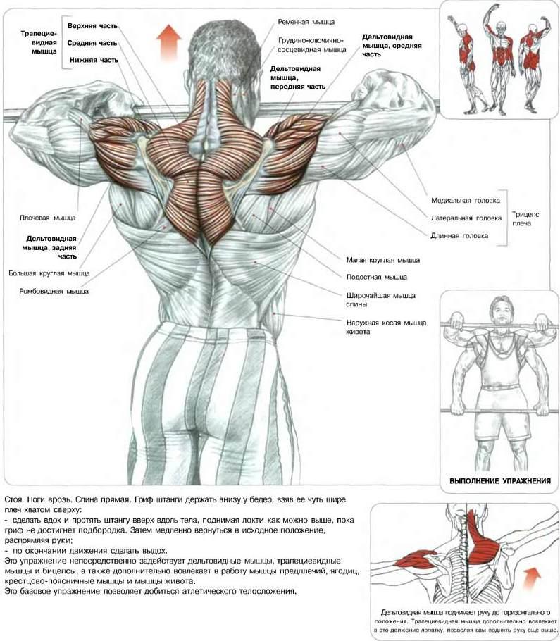 дельтовидных мышц (главным