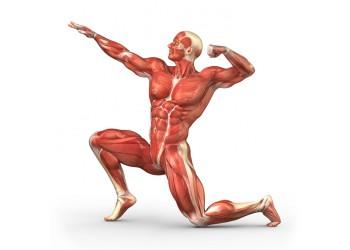 Особенности строения мышц